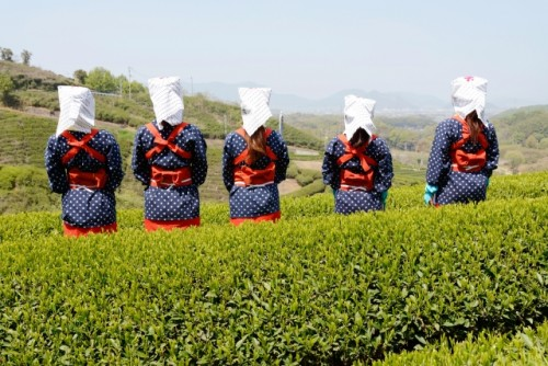 Women in traditional tea picking costumes pick the first tea leaves of the season in Kagoshima.