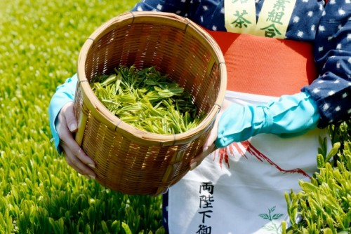 Japanese green tea leafs picked in the tea plantation.