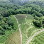 Japanese Green Tea Regions: How 'Terroir' Affects Taste