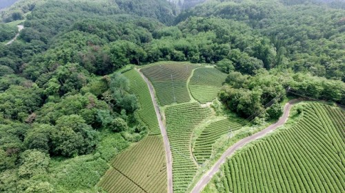 The view of Japanese tea plantations