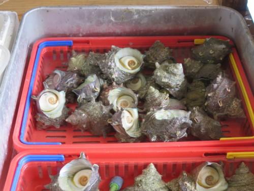 turban shell fish