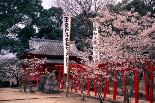 cherry blossoms in ogi city, Saga, Kyushu