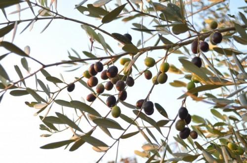 Olive in Ushimado