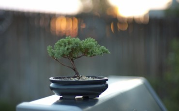Japanese Bonsai has spread throughout the world.