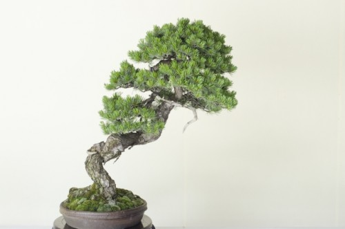 Although the word bonsai is Japanese, this unique combination of horticulture and aesthetics originally got it's start in China.