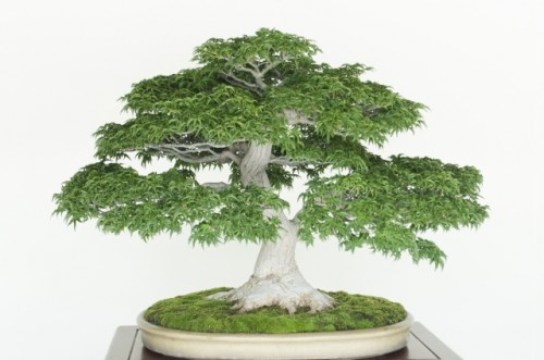 Japanese Bonsai has gotten population all over the world.