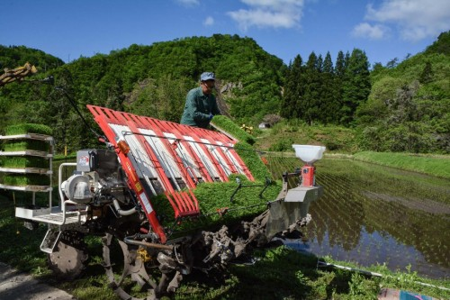 Reisspross setzen in Takane, Niigata, Japan