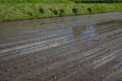 Reispflanzen auf dem Feld Takane, Niigata, Japan