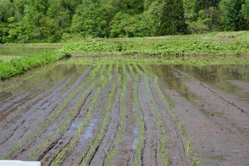 Schiefe Linien im Reisfeld in Takane, Niigata, Japan