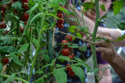 Picking Fresh Vegetables in Saiki city, Oita prefecture, Kyushu.
