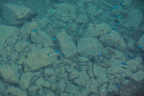 Fish in a small puddle on Cat island Fukashima, Oita prefecture, Kyushu.