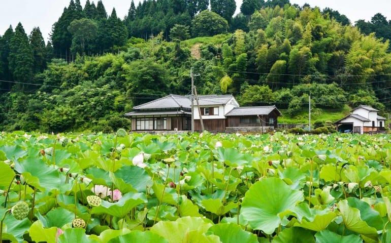 Lotus garden at usuki city, Oita prefecture, Japan.
