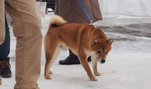 Akita Inukko Matsuri : Dog and Temple Snow Festival in Yuzawa