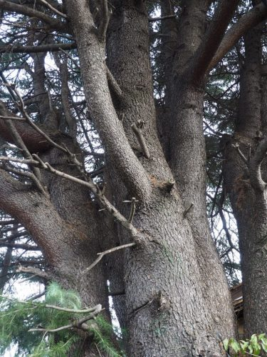 Yanaka Cedar Tree at Yanesen area  in Tokyo, Japan.