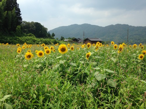 Yosano Sunflower Fields Kyotango Tango Kyoto Summer Nature Coast Himawari