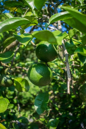 Fruit tree on a farm near Usuki town, Oita Prefecture, Japan