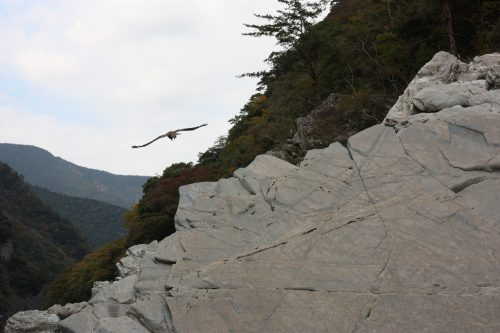 A kite (bird of prey) flies over Oboke Gorge, Tokushima.