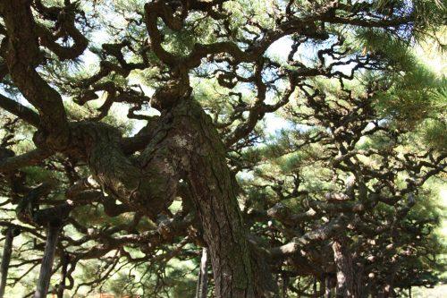 Detailed pine trees in Ritsurin Garden in Takamatsu, Kagawa Prefecture in Eastern Shikoku.