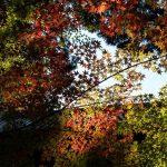 Admire the Beautiful Autumn Foliage of Okayama's Sogenji Temple