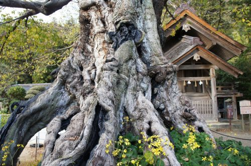 Thousand-year-old tree around the great Izumo Shrine, San'in Region, Shimane Prefecture, Japan