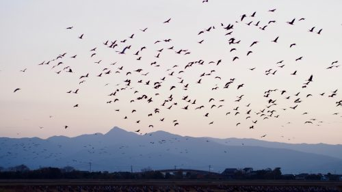 Watch thousands of migratory cranes take flight in Izumi, Kagoshima.