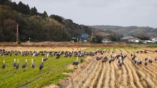 A field full of migratory cranes in Izumi, Kagoshima.