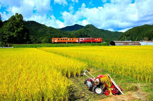 Rice harvesting in Akita along the Nairiku Train line.