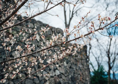 Plum blossoms at Oka Castle Ruins
