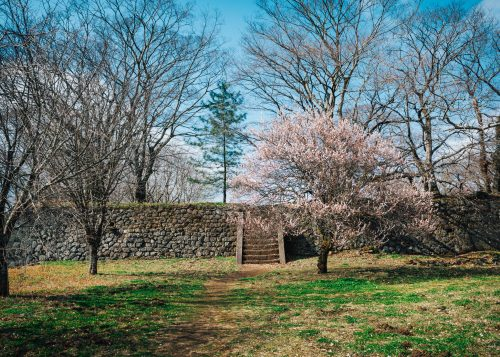A tree blossoms at Oka Castle Ruins in Oita, Kyushu