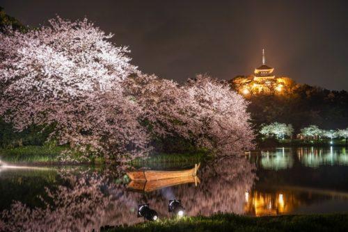 cherry blossoms in Yokohama
