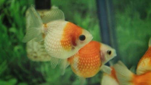 Puffy goldfish