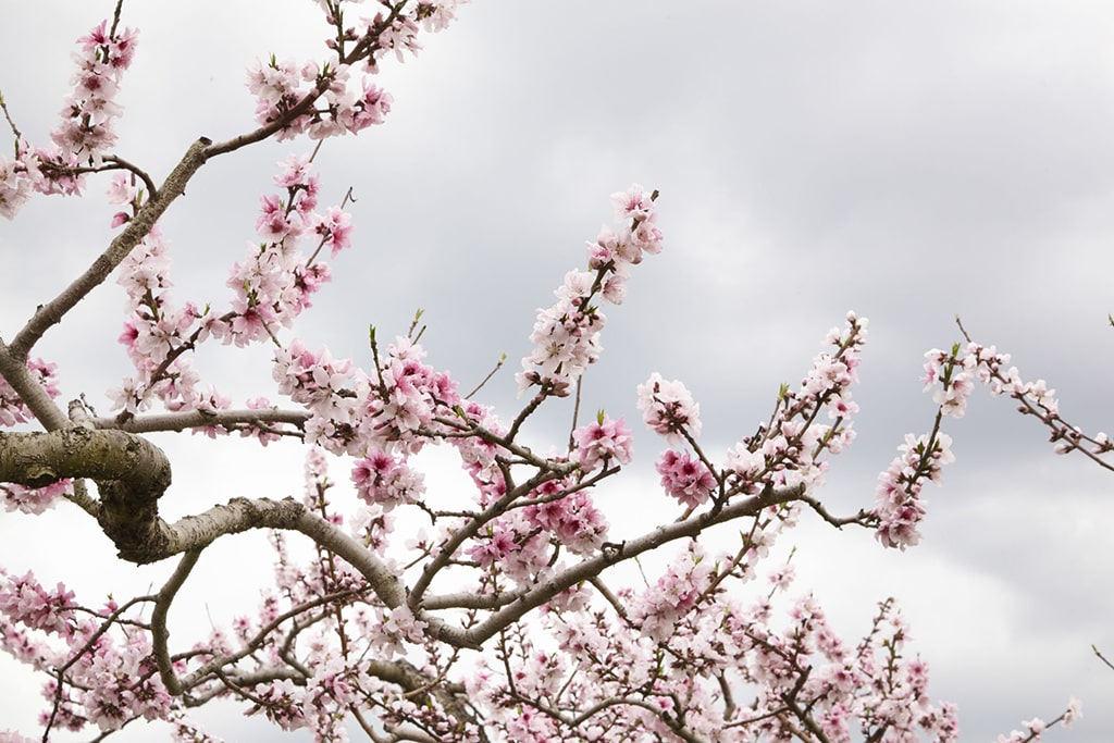 Peach blossoms over a grey sky in Yamanashi