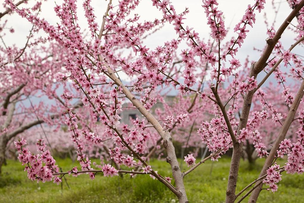 Close up on peach blossoms in a peach farm, Yamanashi, Japan